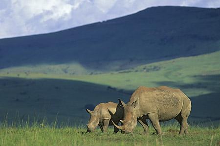 White rhinos, Ithala