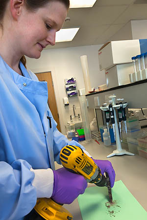 Dr Lucy Webster drills black rhino horn for DNA sampling
