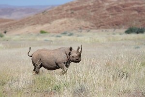 Desert adapted black rhino, Namibia