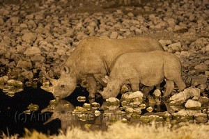 AMHRB37(D) Black rhino cow and calf drinking at night