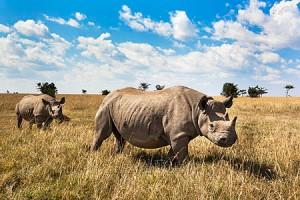 AMHRB90 Black rhinos