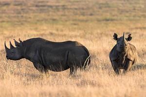 AMHRB95 Black rhinos