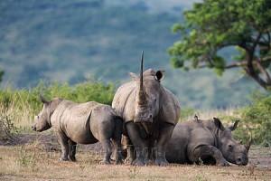AMHRW98(D) White rhino