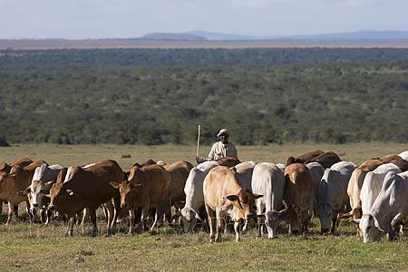 AC82 Boran cattle, Ol Pejeta