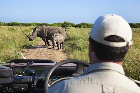 White rhino on Phinda