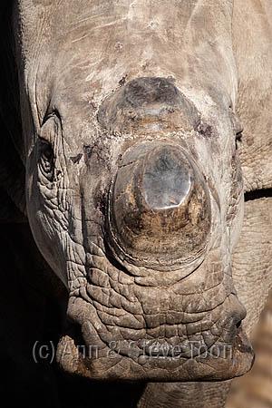 ACPF42 Dehorned white rhino on rhino farm