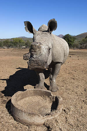 ACPF67 Dehorned white rhino with calf at feeder