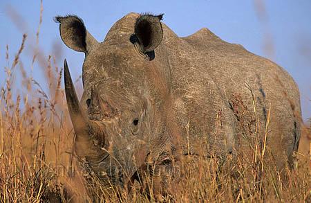 AMHRW17 White rhino