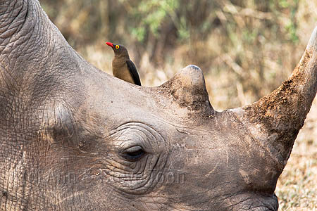 AMHRW172(D) White rhino with redbilled oxpecker