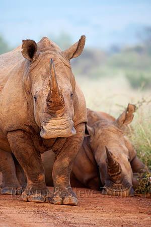 AMHRW93 White rhinos