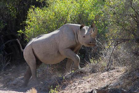 Black rhino in Kunene