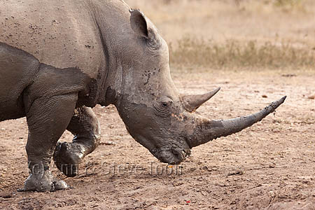 AMHRW222 White rhino