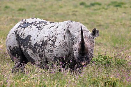 AMHRB100 Black rhino