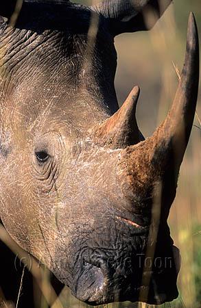 AMHRW103 White rhino