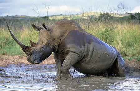 AMHRW44 White rhino bull mudbathing
