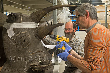 ACPD25 Sampling museum black rhino horn for DNA analysis
