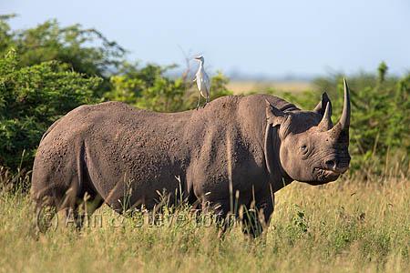 Black rhino in Kwazulu Natal