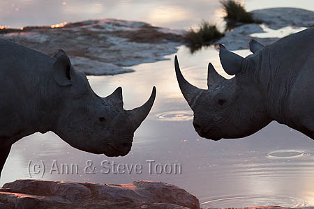 AMHRB148 Black rhino