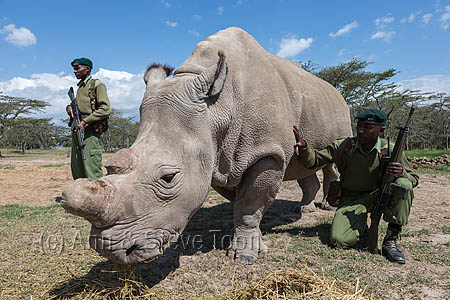 ACPN02 Northern white rhino with armed guard
