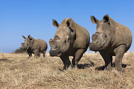 Dehorned white rhinos
