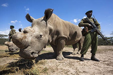 Northern white rhino with armed guard