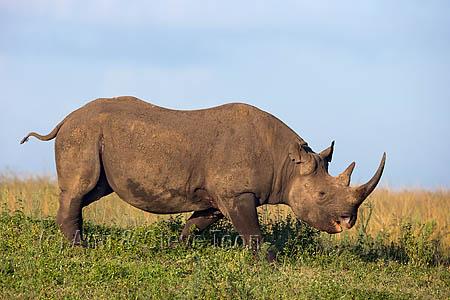 AMHRB116 Black rhino