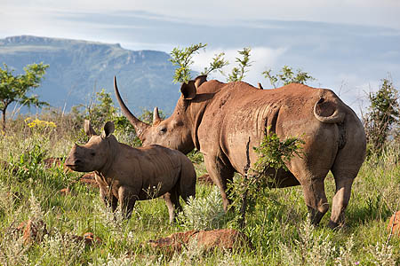 AMHRW175 White rhino cow with calf