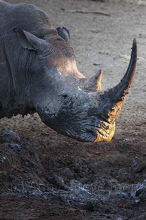 AMHRW183 White rhino at sunrise