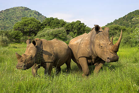 AMHR84(D) White rhino with calf