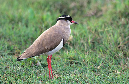 Crowned lapwing: oen of the short grass bird species that probably benefits from rhino grazing