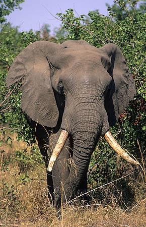 AMHE13 Elephant bull