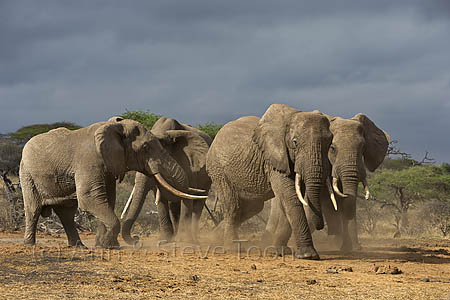 AMHE426 Elephants, Ol Donyo Wuas