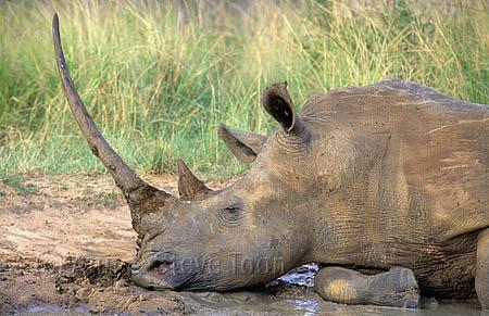 AMHRW107 White rhino sleeping