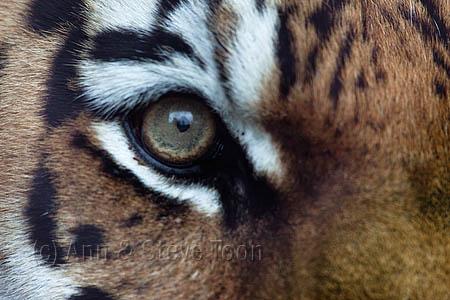 RM56 Tiger eye