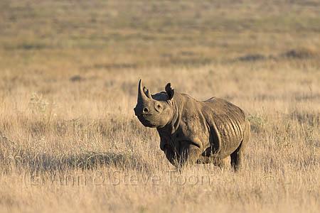 AMHRB97 Black rhino