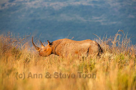 AMHRB23(D) Black rhino