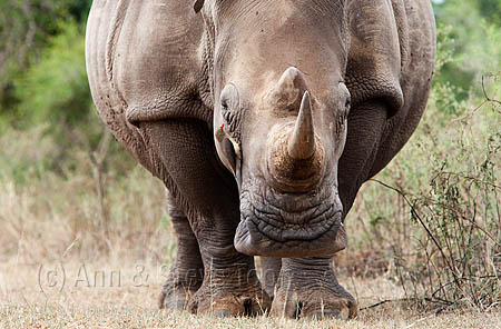 AMHRW157(D) White rhino