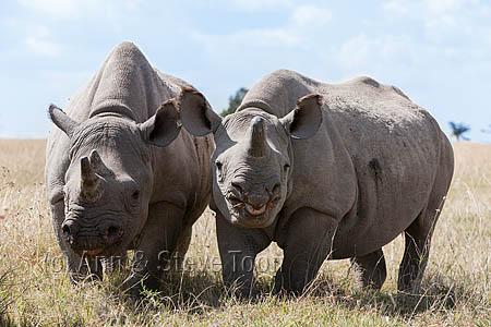 AMHRB88 Black rhinos