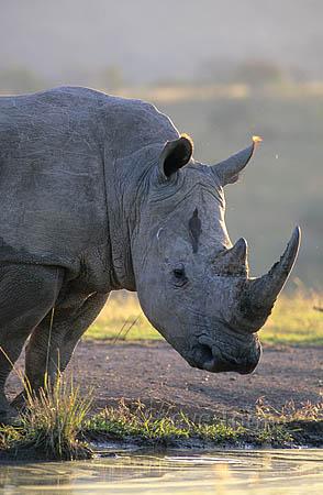AMHRW32 White rhino