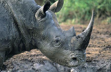 AMHRW40 White rhino