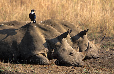 AMHRW65 White rhinos with pied crow