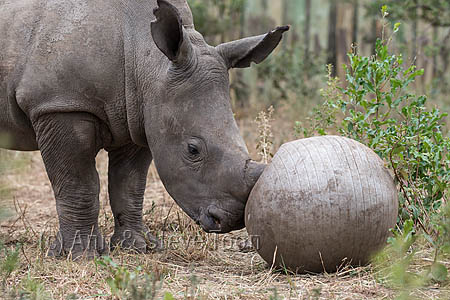 Ithuba, white rhino calf (Ceratotherium simum) orphaned by poaching, Thula Thula rhino orphanage, Kwazulu Natal, South Africa, May 2015