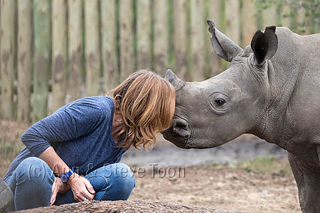 Ithuba, white rhino calf (Ceratotherium simum) orphaned by poaching, with Karen Trendler, Rhino Response Strategy, Thula Thula rhino orphanage, Kwazulu Natal, South Africa, May 2015