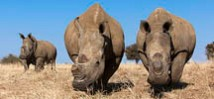 Dehorned white rhinos (Ceratotherium simum) on rhino farm, Klerksdorp, North West Province, South Africa, June 2012