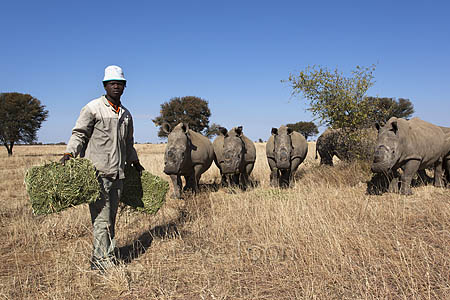 Farming white rhino (Ceratotherium simum) on rhino farm, Klerksdorp, North West Province, South Africa, June 2012