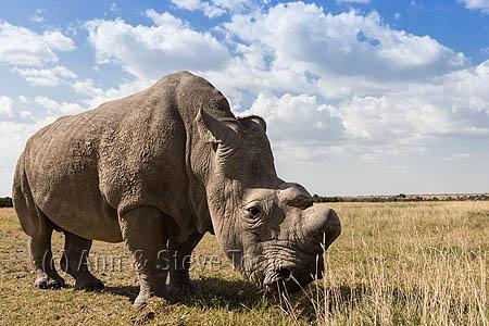 Northern white rhino (Ceratotherium simum cottoni) bull called Sudan, Ol Pejeta Conservancy, Laikipia, Kenya, Africa, September 2012