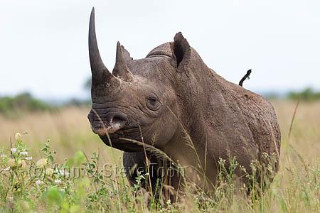 AMHRB101 Black rhino