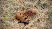 Poached rhino carcass