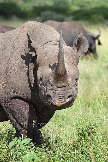 Black rhino (Diceros bicornis) male, &Beyond Phinda private game reserve, Kwazulu Natal, South Africa, February 2013