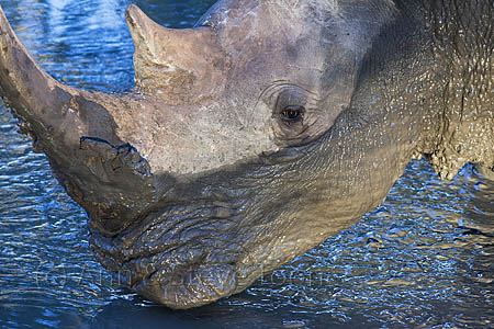 White rhino (Ceratotherium simum) at waterhole, Mkhuze game reserve, KwaZulu Natal South Africa, June 2012